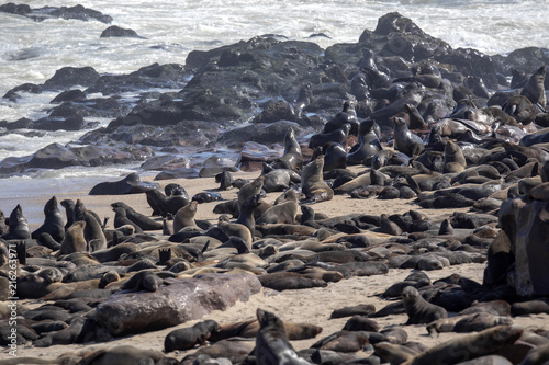 The magnificent colony Brown fur seal, Arctocephalus pusillus, Cape cross, Namibia