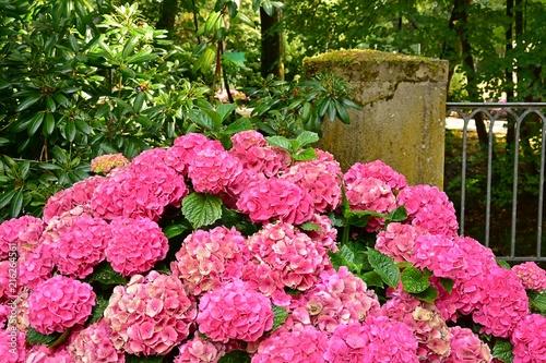 Foto Spatwand Hydrangea Hortensie rosa pink Park