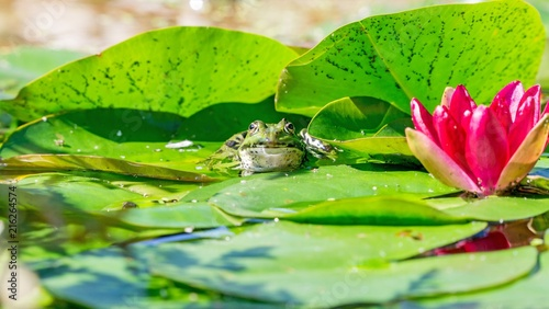 Foto Spatwand Kikker A low level view of a green frog sitting in a garden pond with copy space for your text