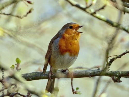 Leinwandbild Motiv Robin