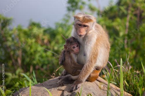 Foto Spatwand Aap Toque macaque