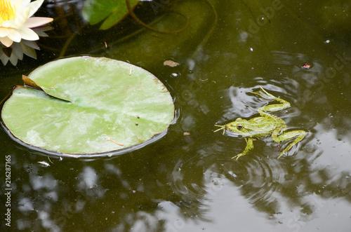 Foto Spatwand Kikker Frog Swimming in Pond