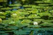 A beautiful white water lily in Ham Lake, Minnesota