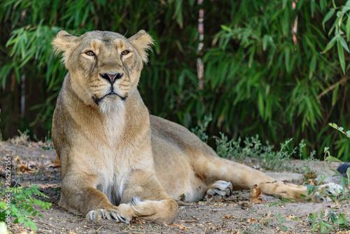 Foto Spatwand Lion Die Löwenmutter
