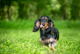 A Long-haired Dachshund dog licking its lips