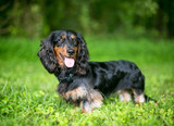 A black and red Long-haired Dachshund dog outdoors