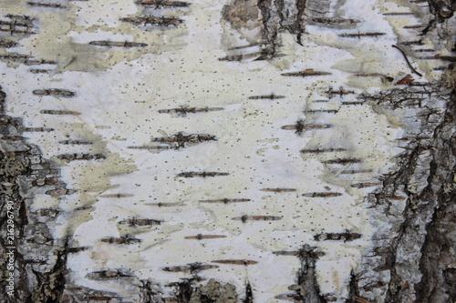 Background of birch bark - 216296790