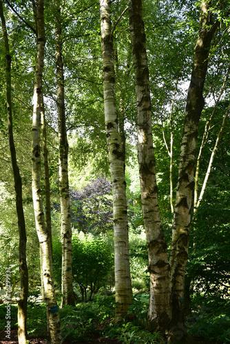 Bois de bouleaux en été - 216299937