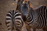 Zebras - 216303901