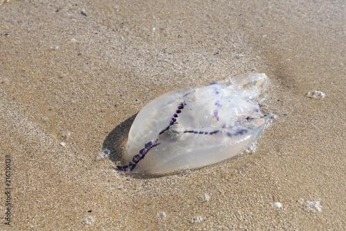 Fototapeta medusa