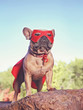 Leinwandbild Motiv cute french bulldog in a super hero costume
