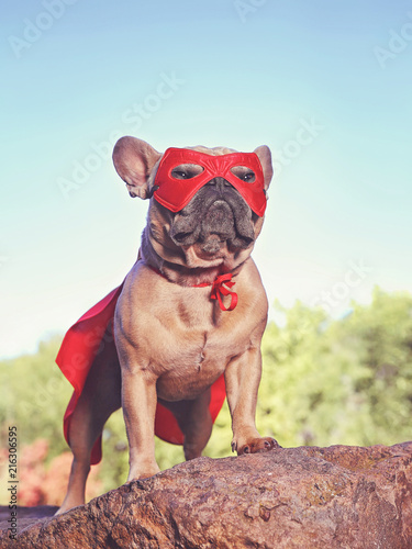 Leinwanddruck Bild cute french bulldog in a super hero costume