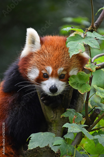 Canvas Panda Close up portrait of red panda on tree