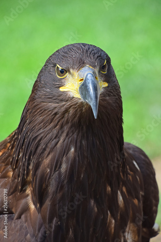 Canvas Eagle Close up front portrait of Golden eagle on green