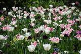 Tulpen in einem Garten