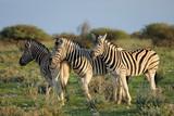 Plains zebras (Equus burchelli) in natural habitat, Etosha National Park, Namibia.