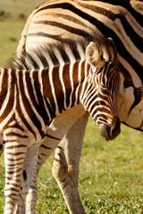 Zebra baby rubbing her head against her mom