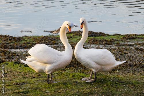 Canvas Zwaan two swans