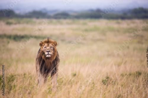 Foto Spatwand Lion Male Lion Stalking prey