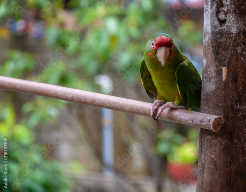 Foto Spatwand Papegaai Parrot on a perch