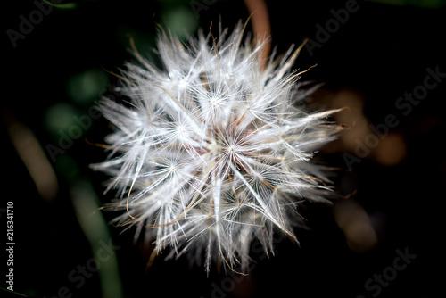 Foto Spatwand Paardenbloemen Closeup Fluffy Dandelion