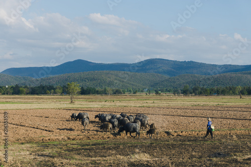 Foto Spatwand Thailand herd of buffalo in field,Thailand