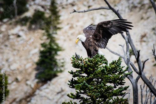 Canvas Eagle Bald Eagle spreding wings