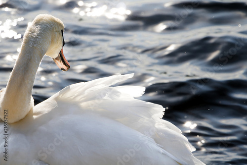 Canvas Zwaan Mute Swan Cygnus olor at Lakeshore