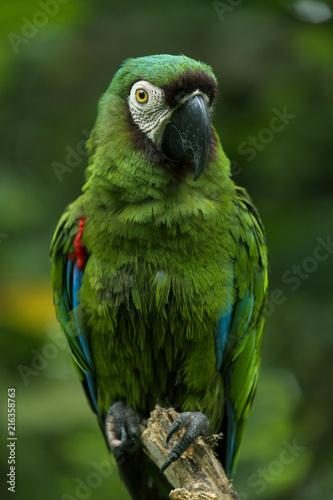 Foto Spatwand Papegaai Ara Severa Macaw