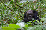 Pensive Chimp