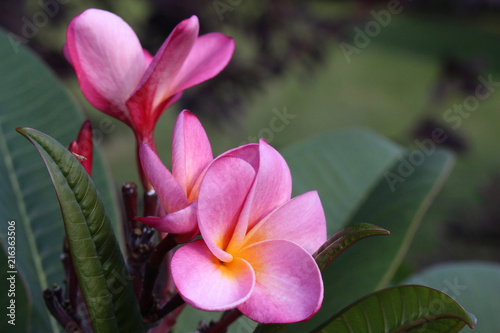 Plexiglas Plumeria Close-up view of pink color rainbow plumeria (frangipani) blossoms