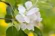 Leinwanddruck Bild - Apfelbaumblüte
