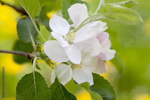 Leinwanddruck Bild Apfelbaumblüte
