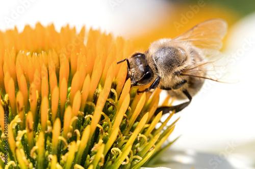In de dag Bee western honey bee (Apis mellifera) on echinacea