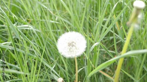 Slow Motion footage of a Dandelion flower in a field.