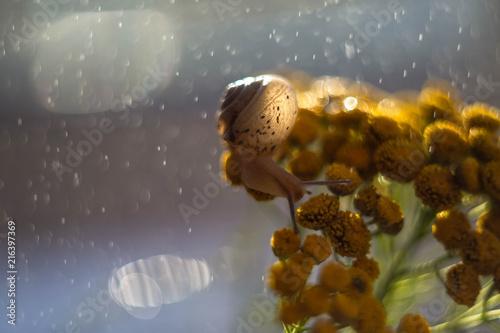 Fototapeta the snail on the tansy