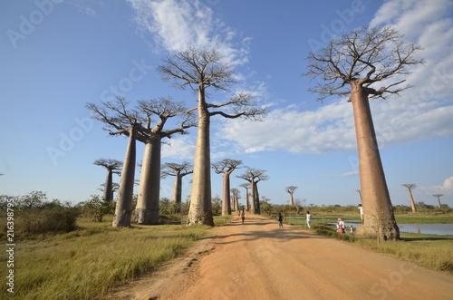 Foto Spatwand Baobab Baobab trees in Madagascar, Africa