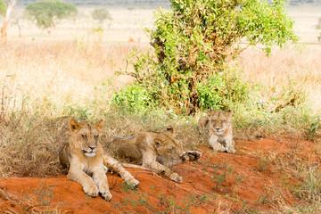 Lions in Kenya, Africa © jotily