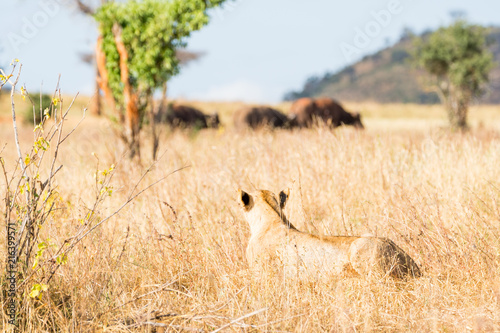 Fotobehang Beige Lions in Kenya, Africa
