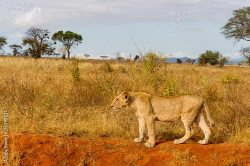 Foto Murales Lions in Kenya, Africa