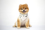 Pomeranian dog on white background.