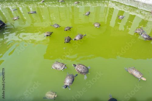 Foto Spatwand Schildpad カメの大群 Turtle