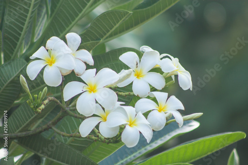 Canvas Plumeria Plumeria flowers