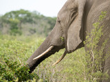 A grazing African Elephant reaches out with its trunk for more plants in Tembe Elephant Park, South Africa