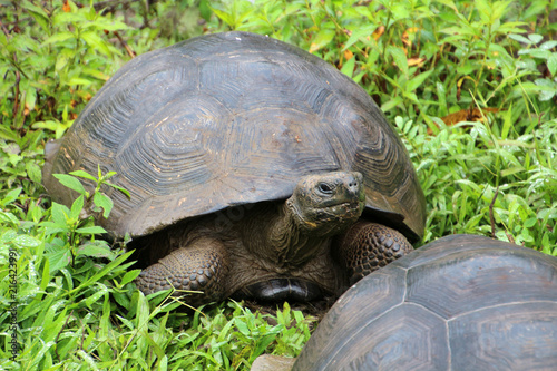 Foto Spatwand Schildpad Galapagos-Riesenschildkröte