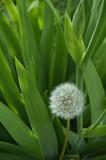 flower, nature, plant,dandelion, macro, lightness