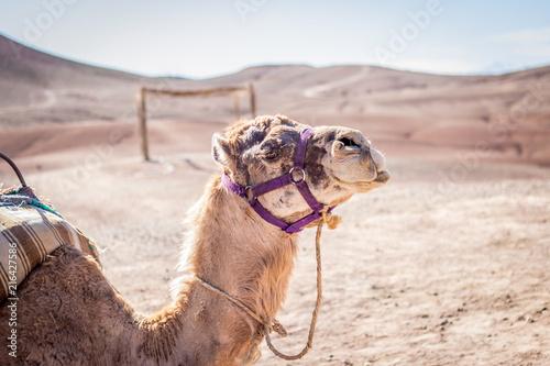 In de dag Kameel Camel