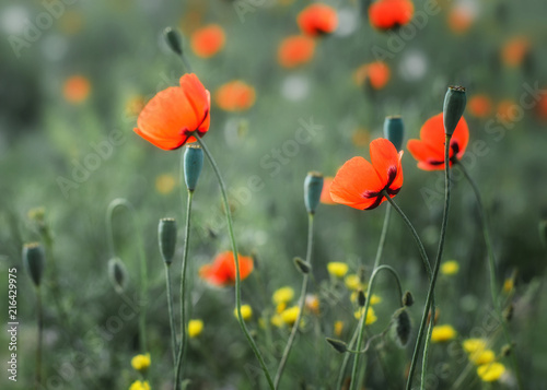 Foto Spatwand Klaprozen Poppies on the field
