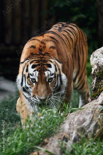 Fototapeta Siberian tiger (Panthera tigris altaica), also known as the Amur tiger.