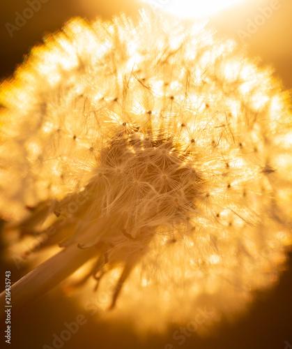 Golden light on dandelion - 216435743